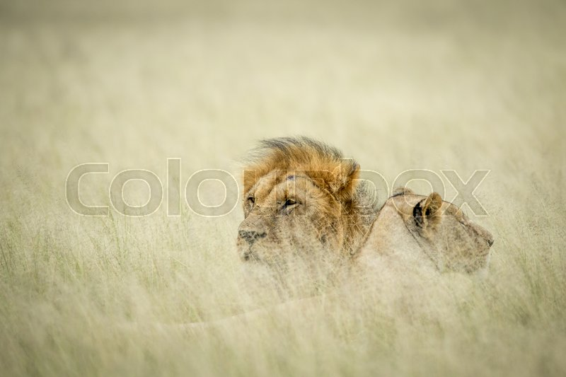 Stock image of 'Lion mating couple laying in the high grass in the Central Kalahari, Botswana.'