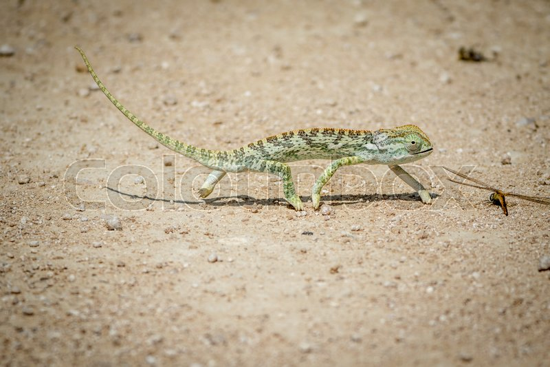 Stock image of 'Flap-necked chameleon walking in the gravel in the Etosha National Park, Namibia.'