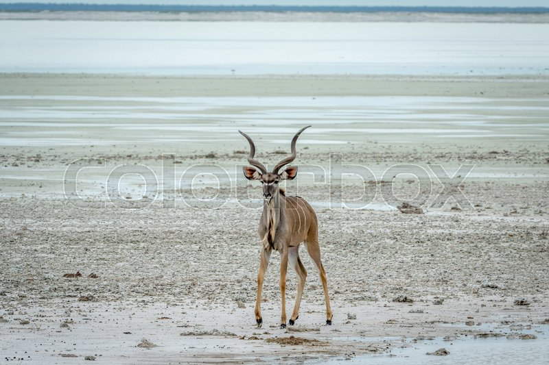 Stock image of 'Male Kudu standing at water in the Etosha National Park, Namibia.'