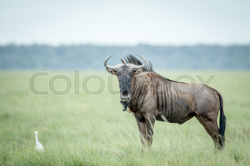 Stock image of 'Blue wildebeest standing in the grass with a Cattle egret in the Etosha National Park, Namibia.'