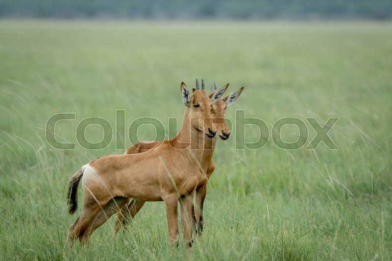 Stock image of 'Red hartebeest calves standing in the grass in the Etosha National Park, Namibia.'
