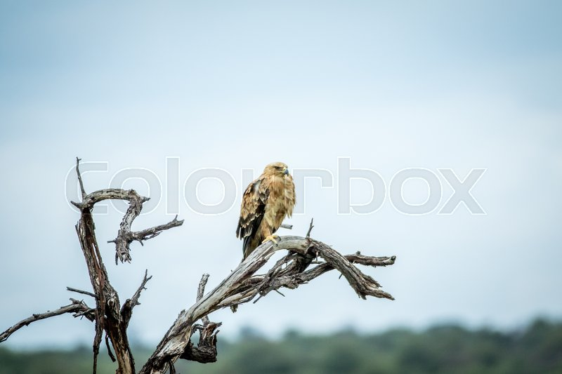Stock image of 'Tawny eagle sitting on a branch in the Etosha National Park, Namibia'