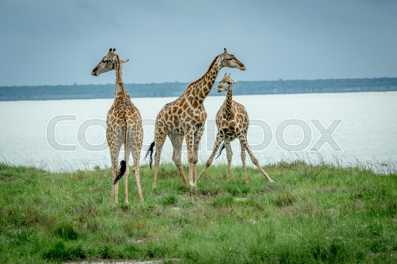 Stock image of 'Group of Giraffes standing in the grass next to a water dam in the Etosha National Park, Namibia.'