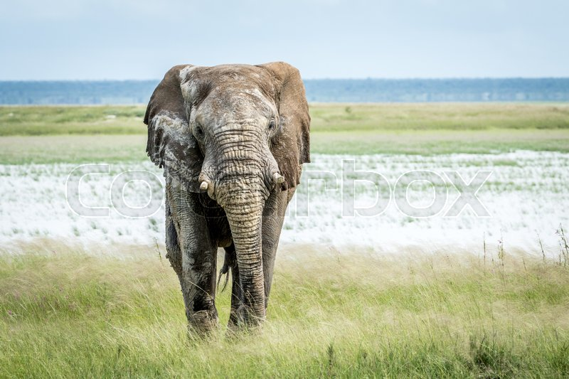 Stock image of 'Big Elephant bull walking towards the camera in the Etosha National Park, Namibia.'