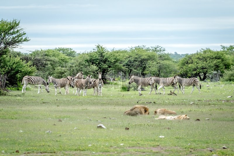 Pride of Lions sleeping in front of a herd of Zebras in the Etosha National Park, Namibia, stock photo