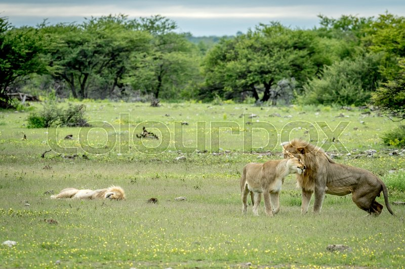 Stock image of 'Lion mating couple bonding in the grass in the Etosha National Park, Namibia.'