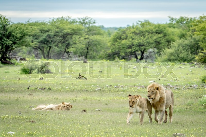 Stock image of 'Lion mating couple walking in the grass in the Etosha National Park, Namibia.'