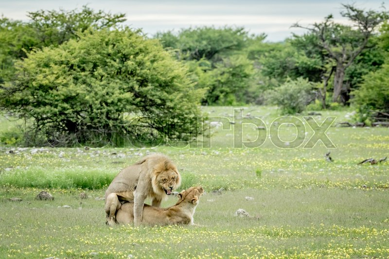 Stock image of 'Lions mating in the grass in the Etosha National Park, Namibia.'