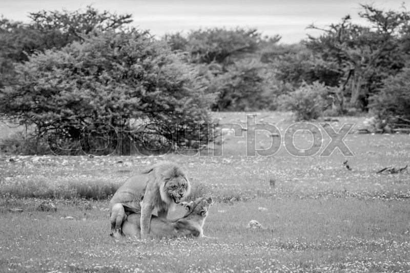 Stock image of 'Lions mating in the grass in black and white in the Etosha National Park, Namibia.'