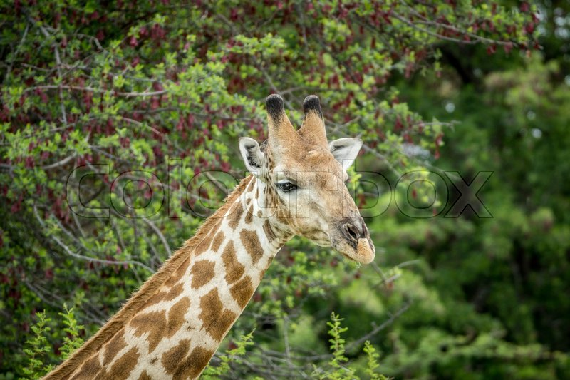 Stock image of 'Close up of a Giraffe in the Etosha National Park, Namibia.'