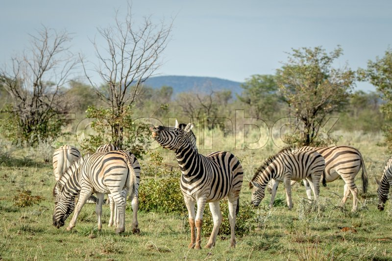 Stock image of 'Herd of Zebras standing in the grass in the Etosha National Park, Namibia.'