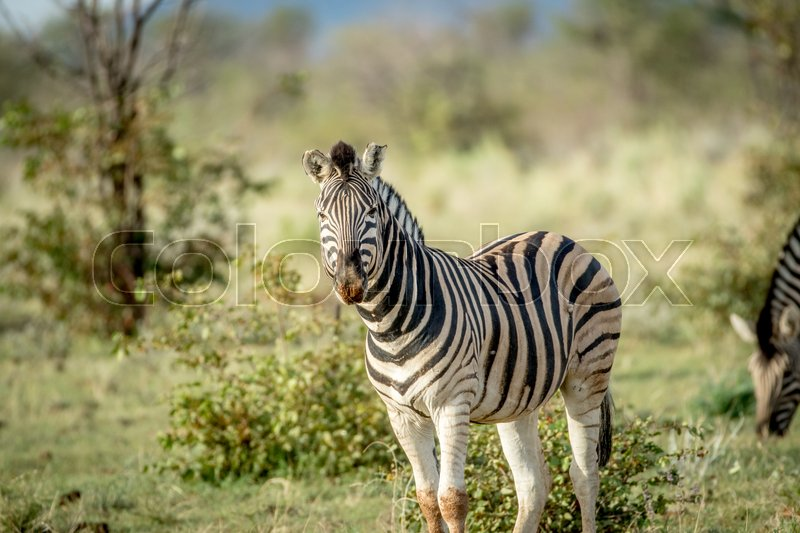 Stock image of 'Zebra starring at the camera in the Etosha National Park, Namibia.'