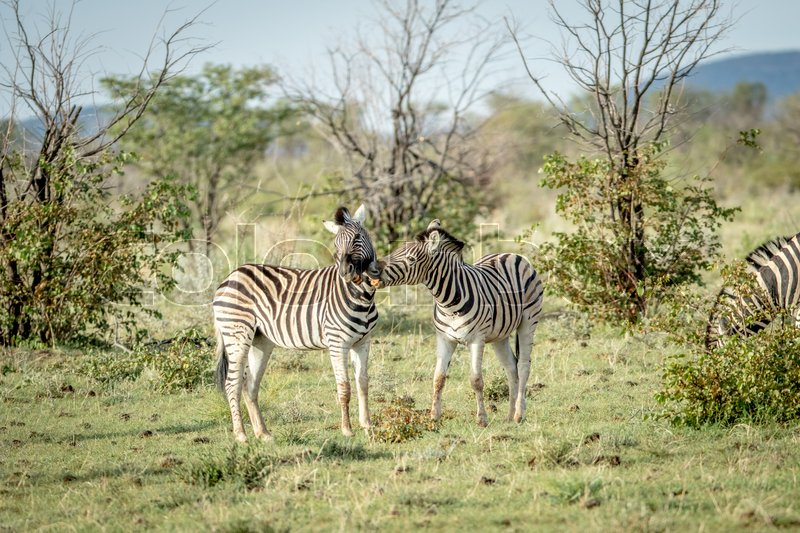 Stock image of 'Two Zebras bonding in the Etosha National Park, Namibia.'