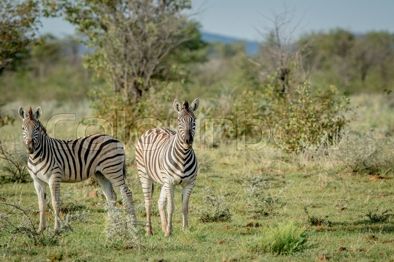 Stock image of 'Two Zebras starring at the camera in the Etosha National Park, Namibia.'