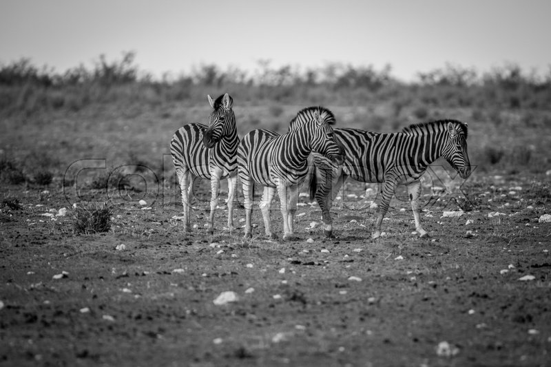 Stock image of 'Herd of Zebras standing in the grass in black and white in the Etosha National Park, Namibia.'