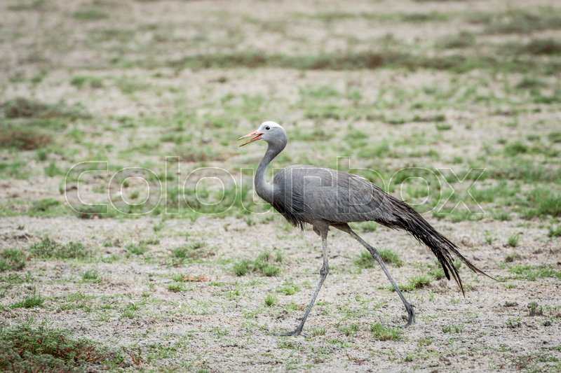 Stock image of 'Blue crane walking in the grass in the Etosha National Park, Namibia.'