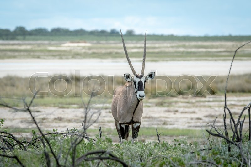 Stock image of 'Oryx starring at the camera in the Etosha National Park, Namibia.'