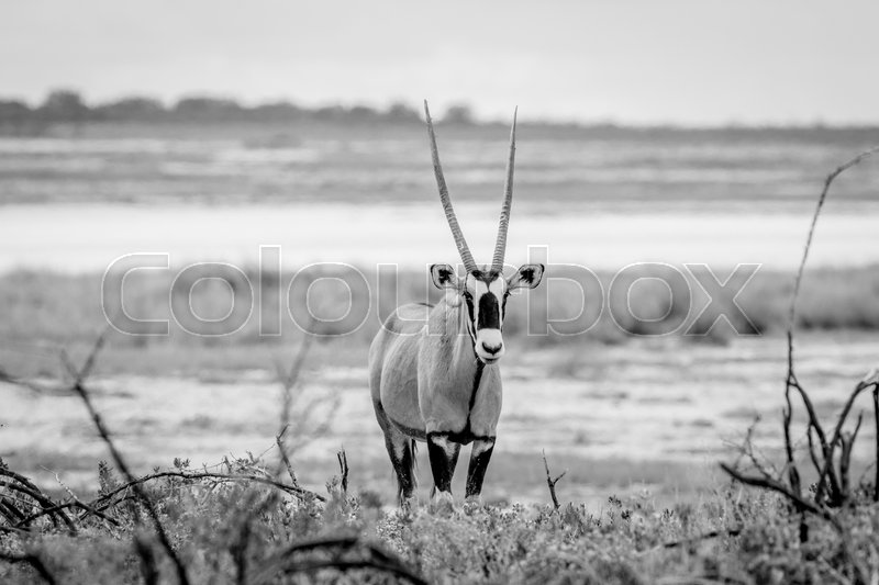 Stock image of 'Oryx starring at the camera in black and white in the Etosha National Park, Namibia.'