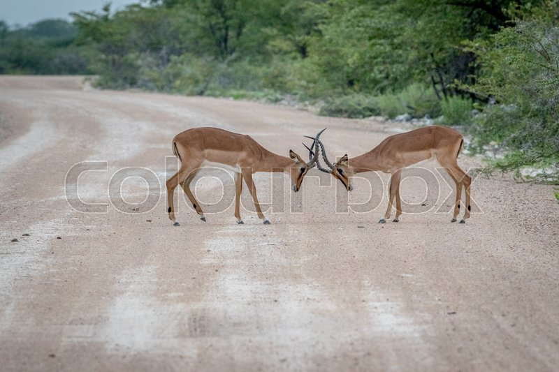 Stock image of 'Two male Black-faced impalas fighting on the road in the Etosha National Park, Namibia.'