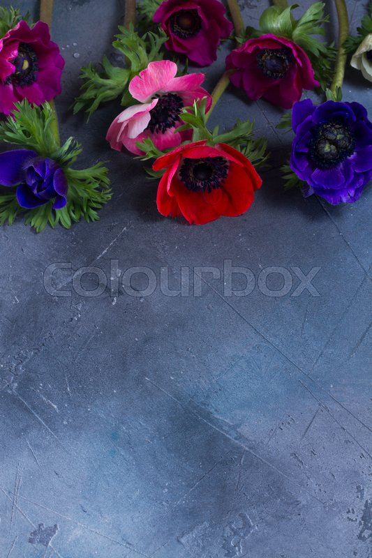 Stock image of 'Fresh colorful Anemones flowers flat lay scene on gray stone background with copy space, low key scene'