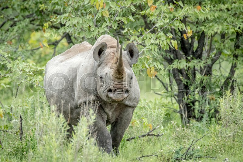 Stock image of 'Black rhino starring at the camera in the Etosha National Park, Namibia.'
