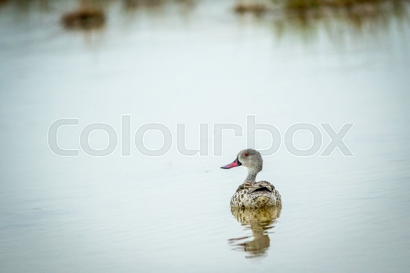 Stock image of 'Cape teal swimming in a pool of water in the Etosha National Park, Namibia.'