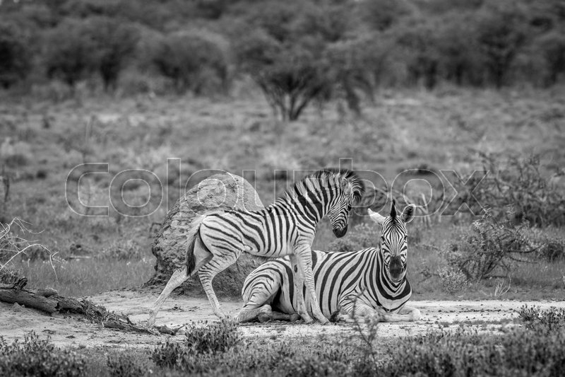 Stock image of 'Mother and baby Zebra in the grass in black and white in the Etosha National Park, Namibia.'