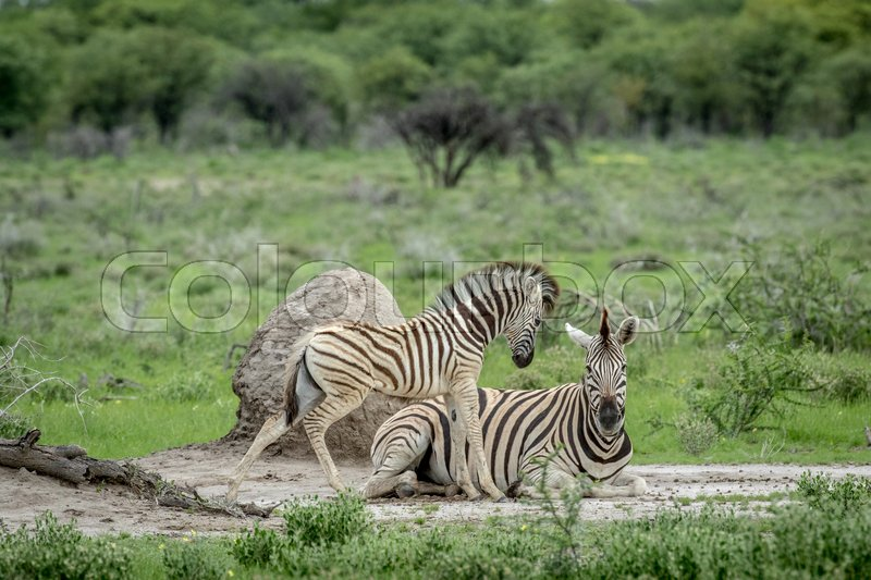 Stock image of 'Mother and baby Zebra in the grass in the Etosha National Park, Namibia.'