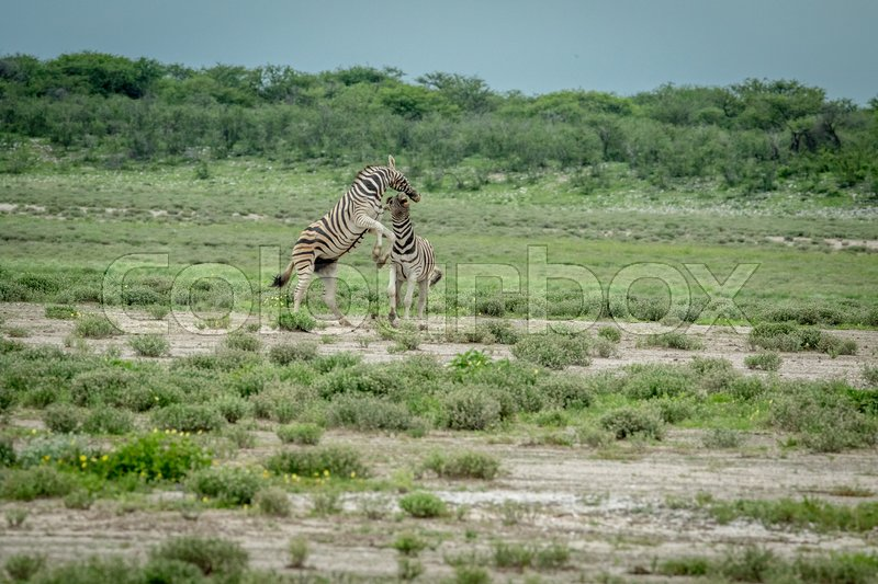 Stock image of 'Two Zebras fighting in the Etosha National Park, Namibia.'