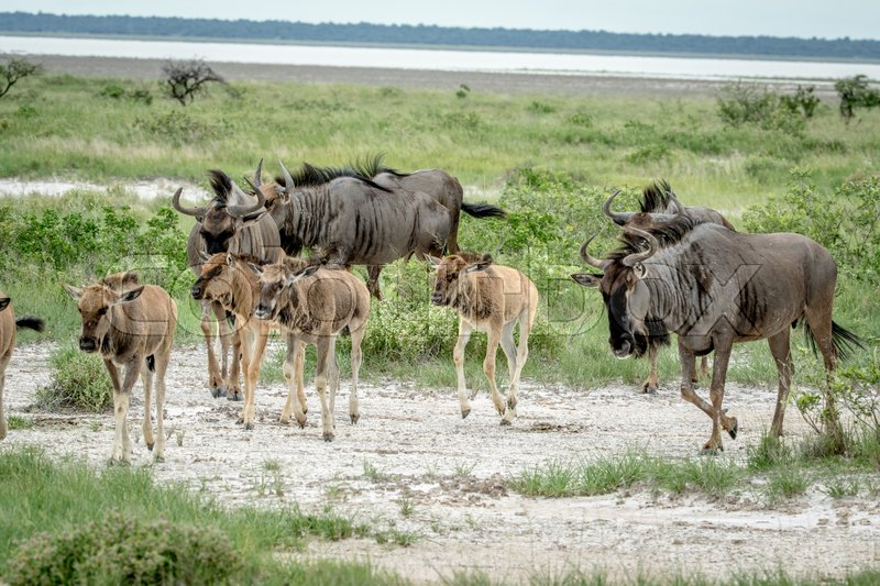 Stock image of 'Group of Blue wildebeests walking in the grass in the Etosha National Park, Namibia.'
