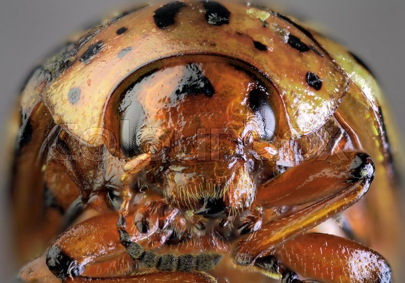 Stock image of 'Potato Beetle Low Scale Magnification'