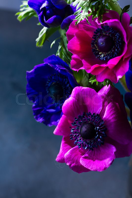 Stock image of 'Fresh colorful Anemones flowers close up, low key scene'