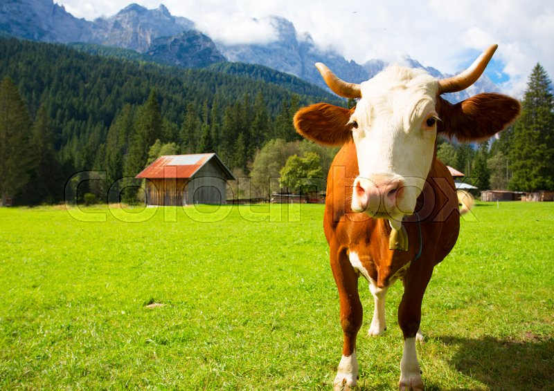 Stock image of 'cows on a pasture at the italian mountains  '