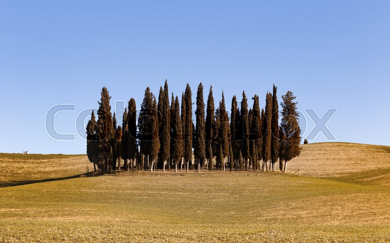Stock image of 'famous cypress island at the Siena region, Tuscany, Italy '