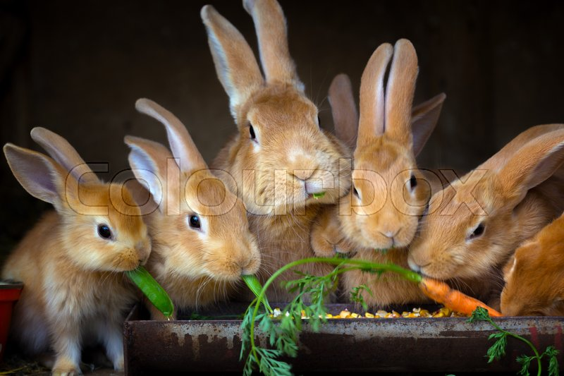 Stock image of 'Rabbit and small rabbits eat carrots '