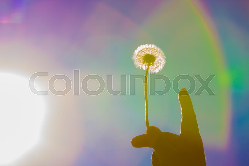 Stock image of 'Holding a dandelion up to the sun'