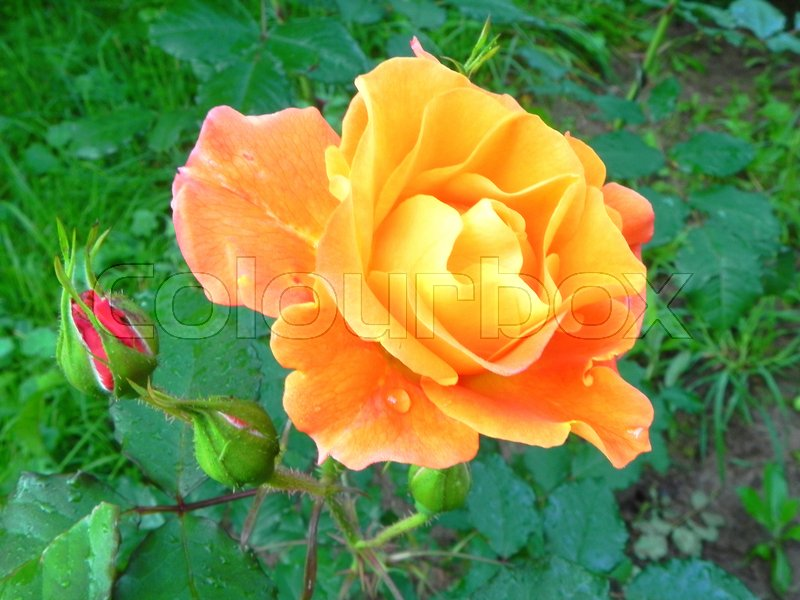 Stock image of 'Yellow rose in the flower garden.'