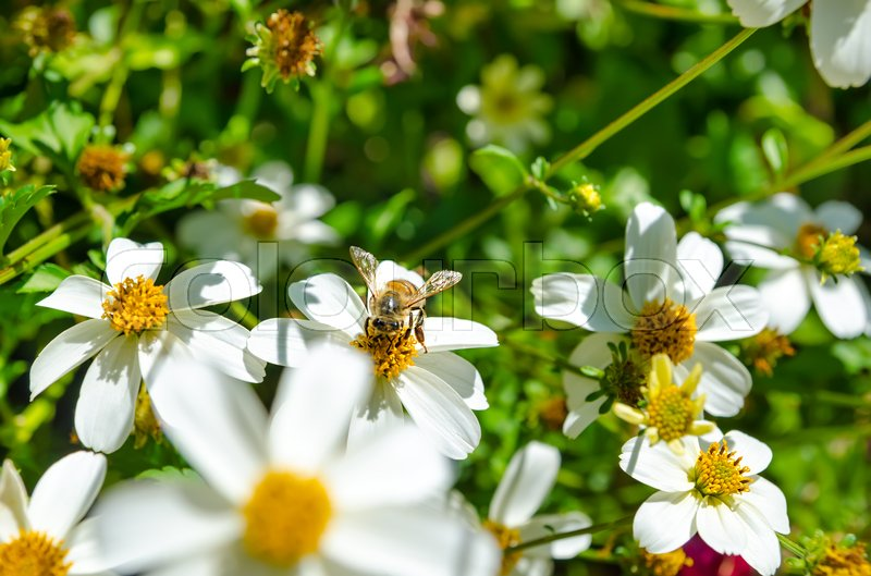 Stock image of 'bee on a daisy flower in the garden'
