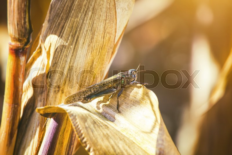 Stock image of 'Large, gray-green specimen locust sits on a dry piece of corn in the field. Invasion of insects, pest control in agriculture.'