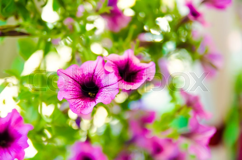 Stock image of 'blooming purple flowers in the garden'