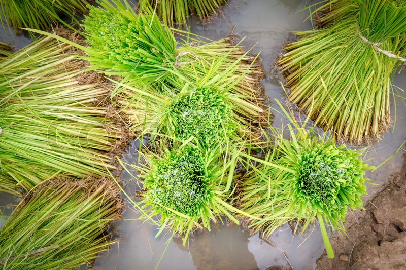 Stock image of 'rice seedling in paddy farm'