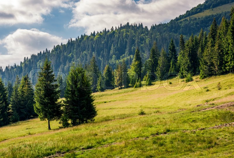 Stock image of 'spruce forest on a hill side meadow in high mountains on a overcast summer day'