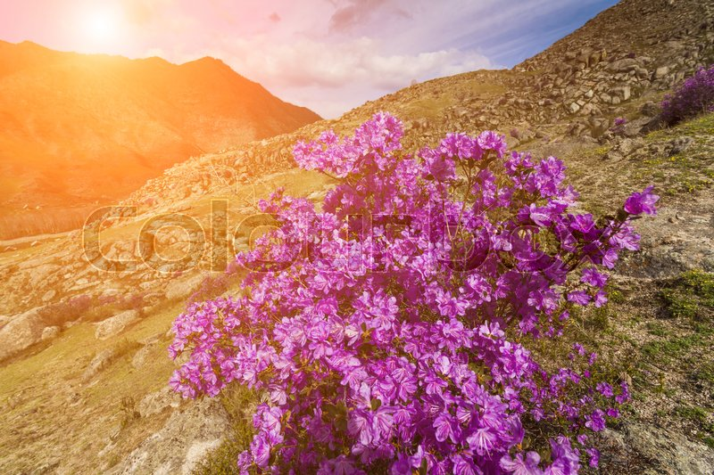 Stock image of 'Picturesque views of the Altai mountains and blossoming maralnik.'