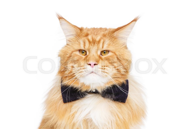 Stock image of 'beautiful big maine coon cat with black bow tie. Copy space. Studio shot isolated on white background. Monochrome.'