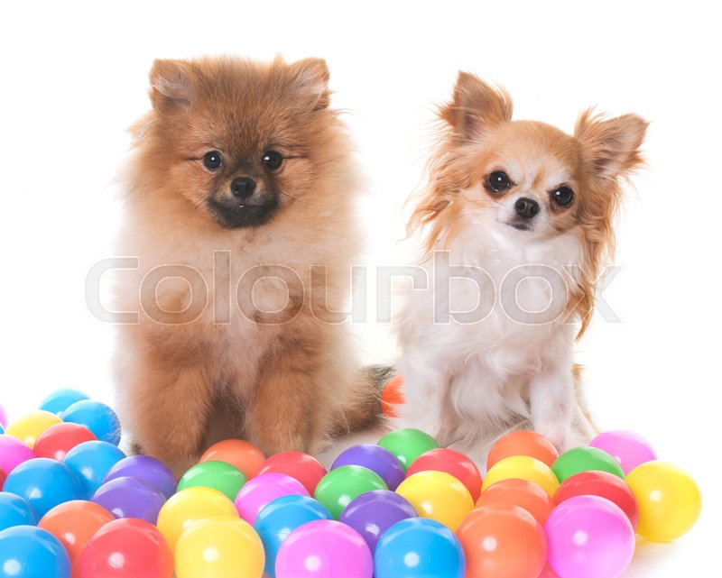 Stock image of 'young pomeranian dog and chihuahua in front of white background'