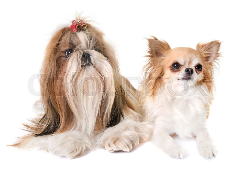Stock image of 'purebred shihtzu and chihuahua in front of white background'