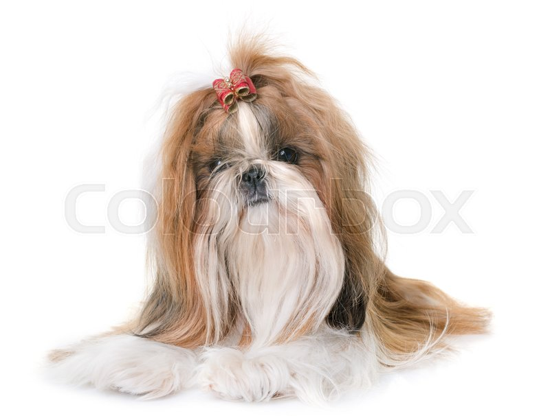 Stock image of 'purebred shihtzu in front of white background'