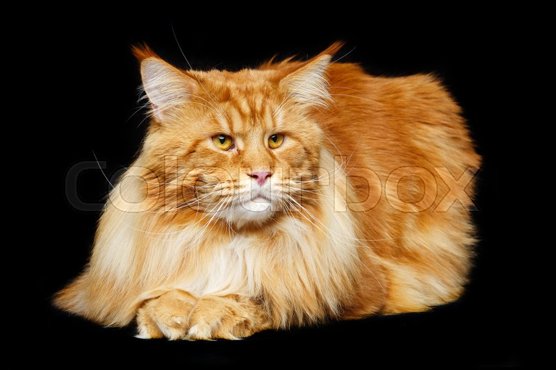 Stock image of 'beautiful big maine coon cat. Copy space. Studio shot on black background.'
