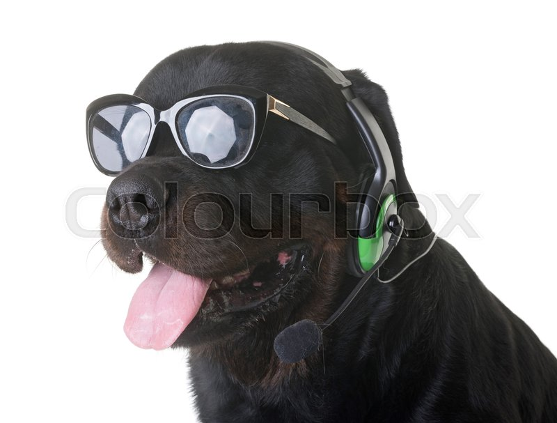 Stock image of 'rottweiler and headphones in front of white background'