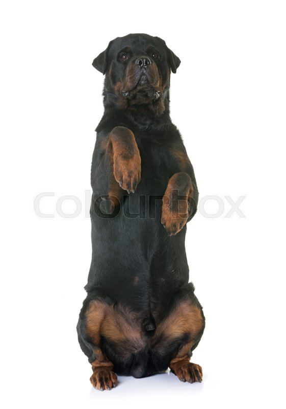 Stock image of 'rottweiler standing up in front of white background'